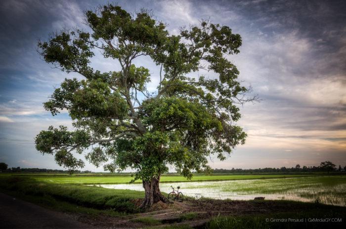 The Big Tree of Dreams