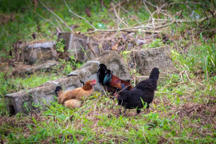 #Picture: #Yard #Fowls, #DemAmstel, #West #Coast #Demerara, #Guyana