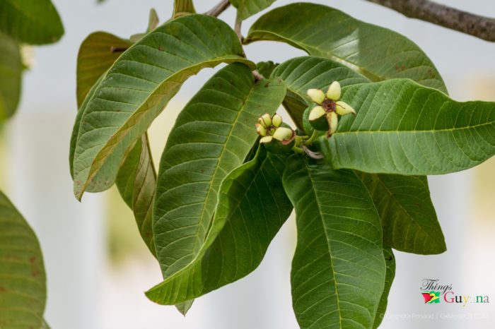 Benefits of Guava Leaves You Didn't Know
